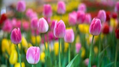Photo of Quali sono le diverse tipologie di tulipani e cosa c'è da sapere su questi fiori