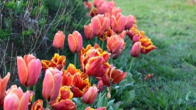 Photo of 10 fiori primaverili facili da coltivare in giardino o in balcone