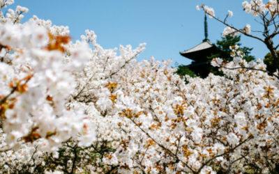 Hanami ovvero ammirare gli alberi in fiore in primavera
