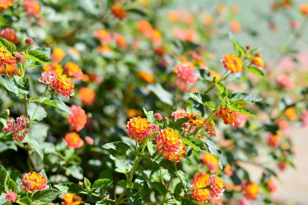 Arbusto Boschivo Dai Fiori Gialli.Lantana Proprieta Benefici E Usi Terapeutici