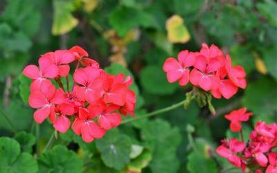 Come coltivare gerani: tipologie, cure e consigli pratici