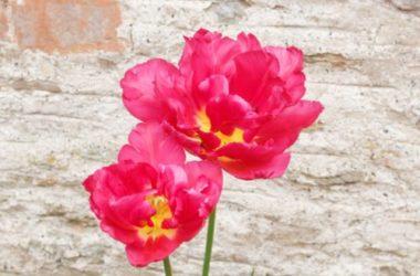 Scopriamo insieme tutte le tipologie di tulipani