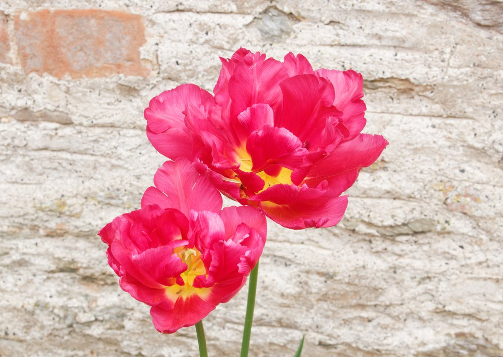 Photo of Scopriamo insieme tutte le tipologie di tulipani