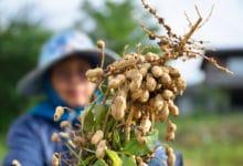Photo of Chi sa come coltivare arachidi in vaso? Ecco la guida illustrata