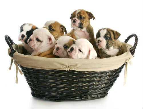 bullldog -cuccioli