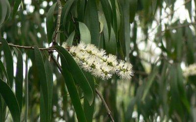 Cajeput, un olio essenziale insetticida da conoscere