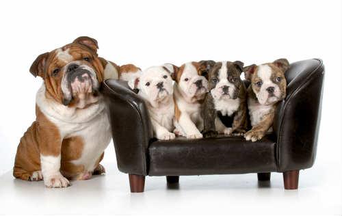 bulldog con cuccioli