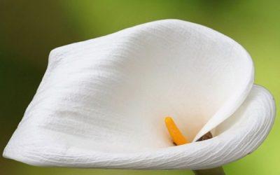 Coltivare la calla in casa o in giardino: ecco come ottenere magnifiche fioriture