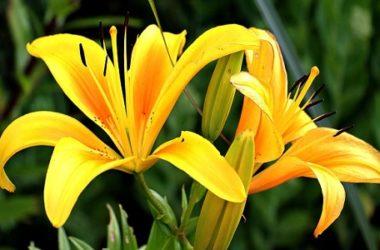 Alla scoperta del giglio, uno dei fiori più amati e coltivati