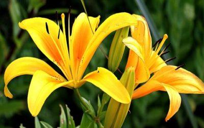 Come coltivare il giglio: consigli e cure