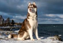 Photo of Husky siberiano: i segreti di questo cane bellissimo ed elegante