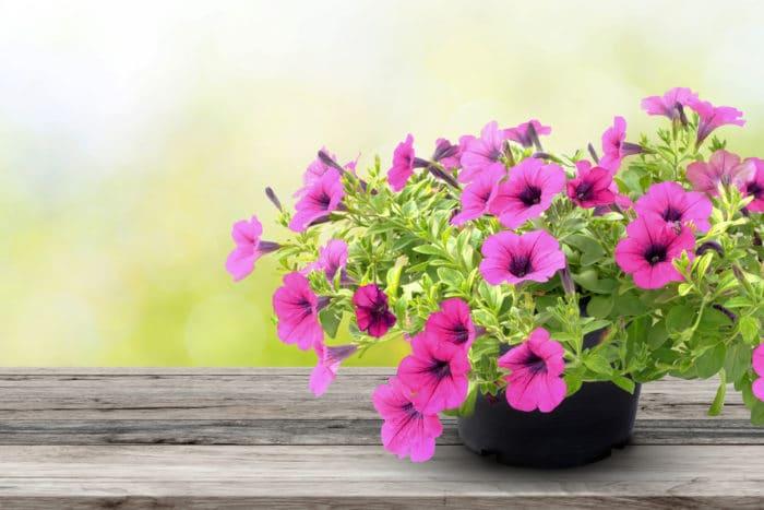 fiori estivi facili da coltivare
