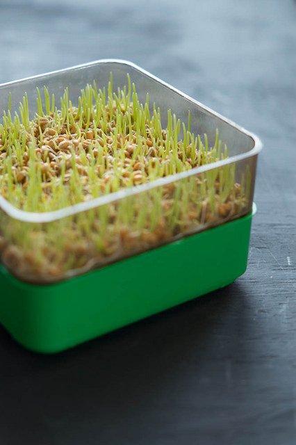Photo of Germogli di grano: proprietà e modalità di utilizzo