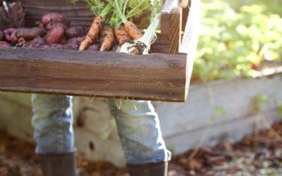 Come coltivare carote: la guida pratica