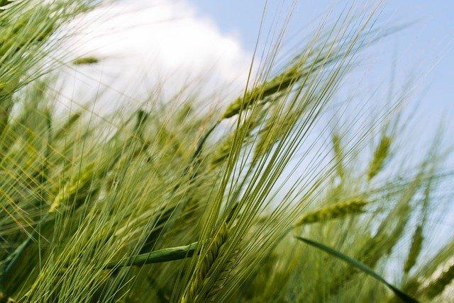 germogli di grano
