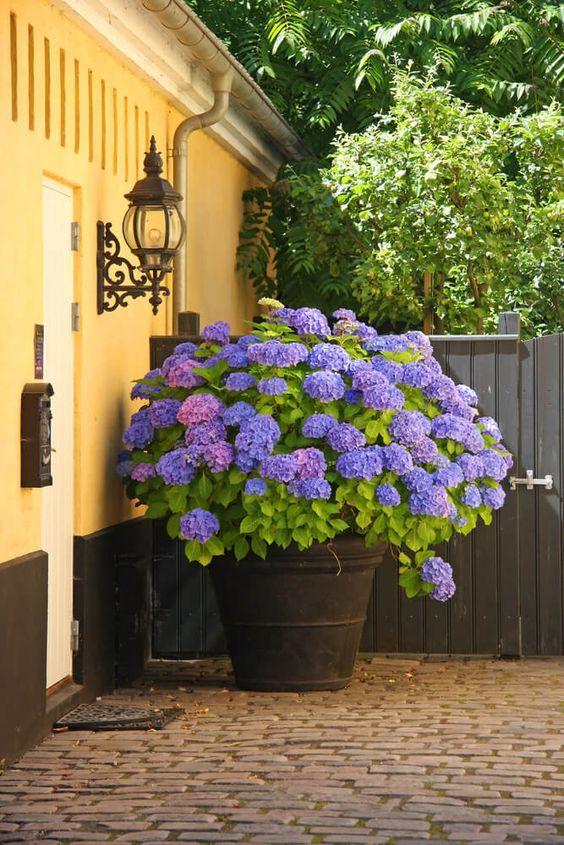 Ortensia coltivazione e cura di una perenne dai fiori for Ortensie in vaso