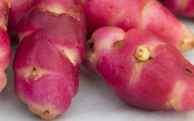 Oxalis tuberosa: proprietà e usi di un tubero sudamericano
