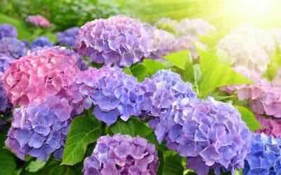 Come coltivare l'ortensia: la guida pratica per rendere splendido questo arbusto dai fiori enormi