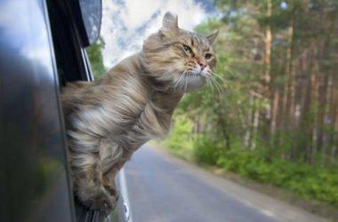 Viaggiare con il gatto: alcuni utili consigli
