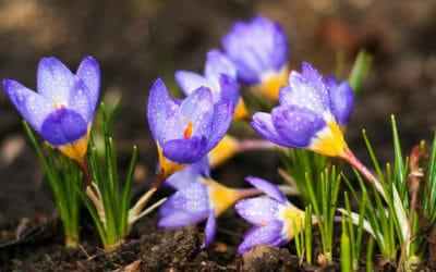 Crocus: cura e caratteristiche di questa pianta