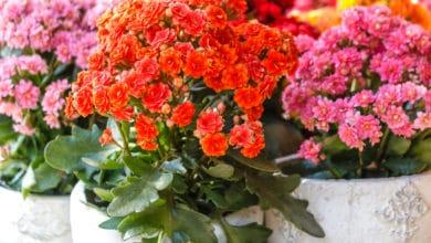 Photo of Kalanchoe: una pianta succulenta che regala bellissime fioriture