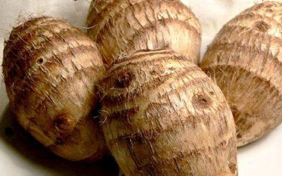 Colocasia esculenta o taro, il tubero polinesiano da mangiare
