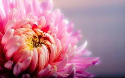 Crisantemo: varietà, coltivazione e cura di questo fiore