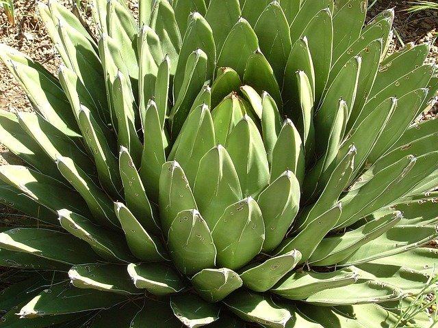 agave coltivazione