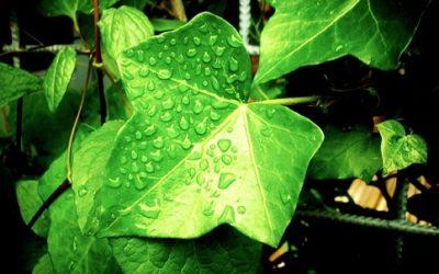 Scopriamo tutte le varieta di piante rampicanti, dalle sempreverdi alle fiorite