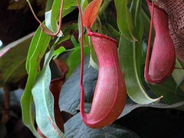 Nepenthes piante carnivore