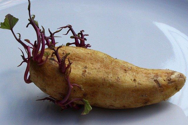 germogli patata tossici