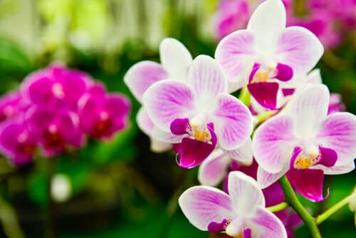 La phalaenopsis, l'orchidea 'falena'