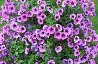 Alla scoperta della Surfinia, una varietà di petunia dal grande potenziale decorativo