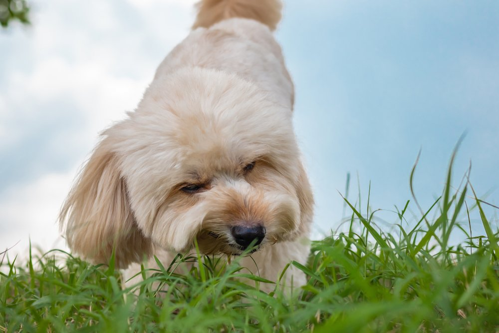 Photo of Perché i cani mangiano l'erba? Alcune spiegazioni…