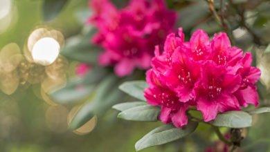 Photo of Guida al rododendro: coltivazione e cose da sapere sull'albero delle rose