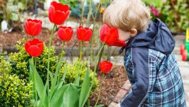 Photo of Come coltivare tulipani in vaso e a terra: tutti i trucchi da conoscere