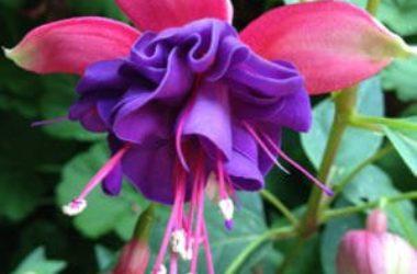 Come coltivare e curare la pianta di fucsia al meglio: la guida pratica