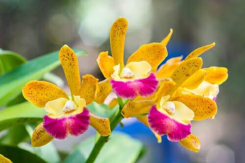 orchidea venere danzante