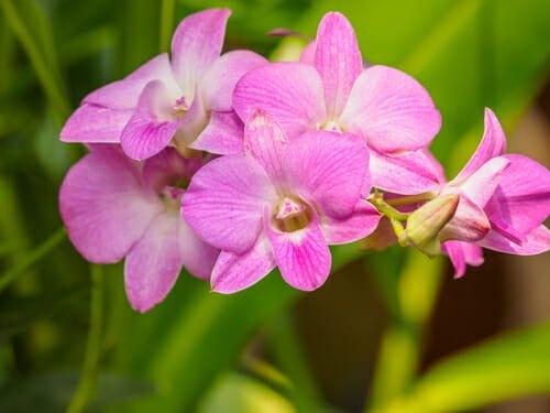 L'orchidea dendrobium