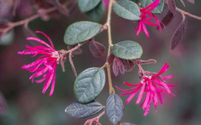 Loropetalum: un sempreverde tutto da conoscere