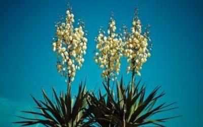 Yucca in giardino e in vaso: come curarla