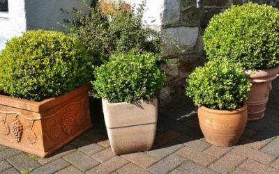 Bosso: varietà, coltivazione e cura di questa pianta - Tuttogreen