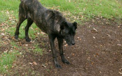 Dogo sardo: carattere, specificità e cose da sapere