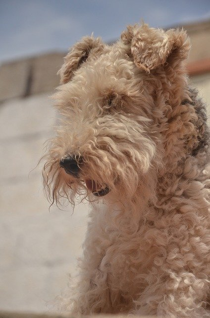 airedale terrier carattere