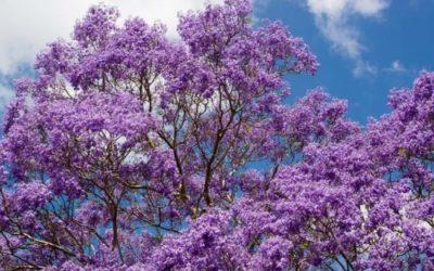 Tutto sulla Jacaranda, ecco come coltivare e curare questo stupendo albero