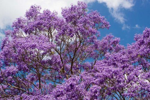 Jacaranda: coltivazione e cura di questo stupendo albero