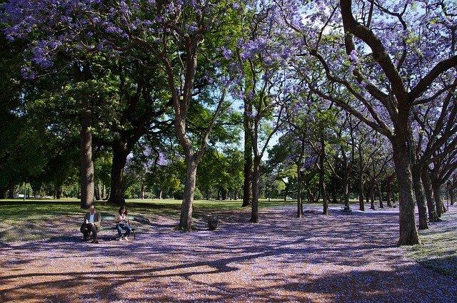 jacaranda alberi