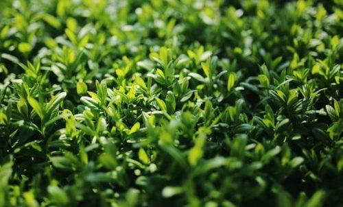 Photo of Ligustro: una pianta perfetta per la siepe
