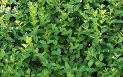Ligustro: una pianta perfetta per la siepe