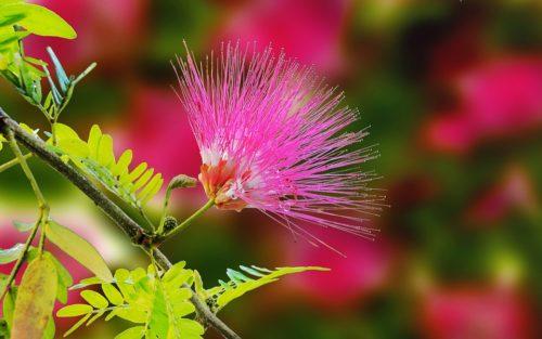 Photo of Mimosa: consigli per coltivare e curare questa pianta dai fiori gialli